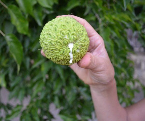 Адамово яблоко- лечебные свойства, применение и рецепты настоек